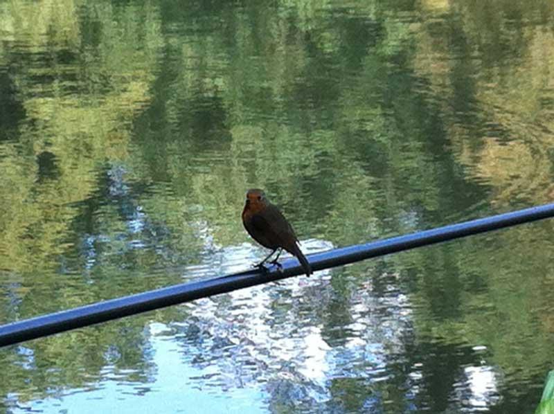 Robin on the rod
